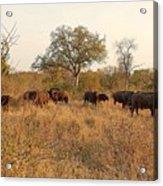 Buffalo In The Timbavati Acrylic Print