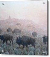 Buffalo in Yellowstone Fog Acrylic Print