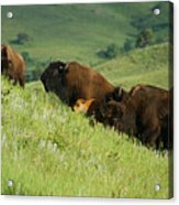 Buffalo On Hillside Acrylic Print
