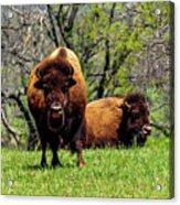 Buffalo Posing Acrylic Print
