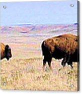 Buffalo Range In Kansas Acrylic Print