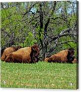Buffalo Resting In A Field Acrylic Print