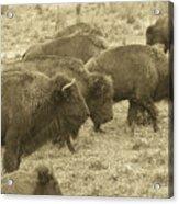 Buffalo Roaming Acrylic Print