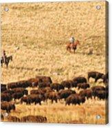Buffalo Roundup Acrylic Print