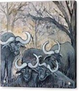 Buffaloes In The Bushveld Acrylic Print