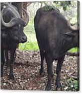 Buffaloes Acrylic Print