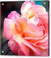 Buffum Rose Acrylic Print