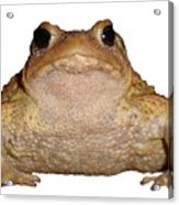 Bufo Bufo European Toad Isolated Acrylic Print