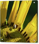 Bug On Yellow Sunflower Acrylic Print