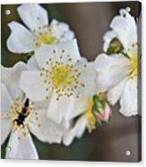 Bugaboo Apple Blossoms Acrylic Print