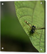 Bugeyed Fly Acrylic Print