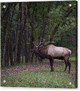 Bull Elk Bugle Acrylic Print