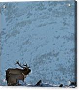 Bugling Bull Elk, Alberta Canada Acrylic Print
