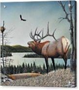 Bugling Elk Acrylic Print