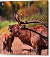Bugling Elk In Autumn Acrylic Print