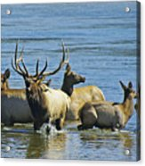 Bugling Elk In Lake Acrylic Print
