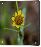 Build Me Up, Buttercup Acrylic Print