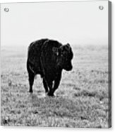 Bull After Ice Storm Acrylic Print