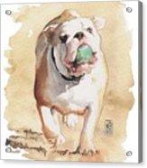 Bull And Ball Acrylic Print