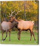 Bull And Cow Elk - Rutting Season Acrylic Print