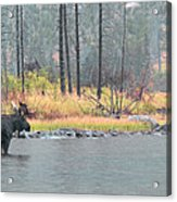 Bull And Cow Moose In East Rosebud Lake Montana Acrylic Print