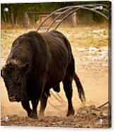 Bull Dust Acrylic Print