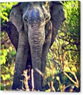 Bull Elephant Threat Acrylic Print