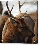 Bull Elk At Hardware Ranch 2 Acrylic Print