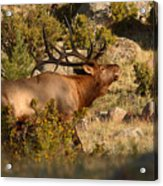 Bull Elk Bugling Among The Rocks Acrylic Print