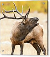 Bull Elk Bugling In The Fall Acrylic Print