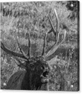 Bull Elk Bugling Acrylic Print