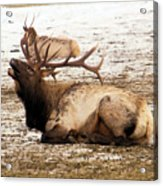 Bull Elk Calls Out Acrylic Print