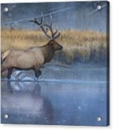 Bull Elk Crossing The Madison River Acrylic Print