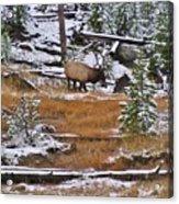 Bull Elk Feeding In Winter Acrylic Print