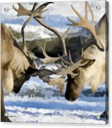 Bull Elk Fighting  Acrylic Print