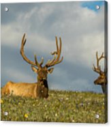 Bull Elk Friends For Now Acrylic Print