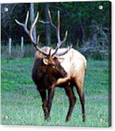 Bull Elk II Acrylic Print