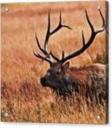 Bull Elk In A Field Acrylic Print