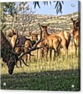 Bull Elk In Point Acrylic Print