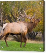Bull Elk In Rutting Season Acrylic Print