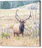 Bull Elk In The Rain Acrylic Print