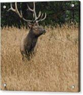 Bull Elk In Yellowstone Acrylic Print