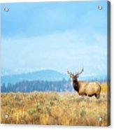 Bull Elk Meadow Acrylic Print