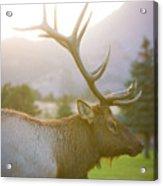 Bull Elk Profile Acrylic Print