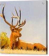 Bull Elk Resting In The Grass Acrylic Print