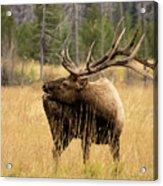 Bull Elk Sideview Acrylic Print