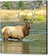 Bull Elk Wading The Madison River Acrylic Print