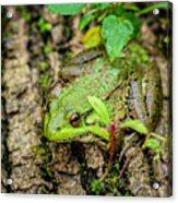 Bull Frog On A Log Acrylic Print