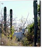 Bull In The Desert Of Mexico Acrylic Print