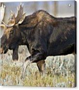 Bull Moose Crossing The Sage  Acrylic Print